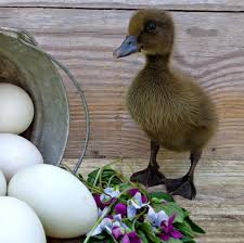 khaki campbell duckling duck duck goose pinterest animal and