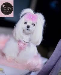 soft dreamy chiffon u0026 pearl accent hair bows u2013 maltese obsession