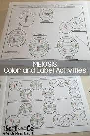 meiosis stages worksheet bing images mitosis u0026 meiosis