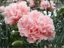 Carnation Flower Buy Carnation Flower Seeds Online At Best Prices In India