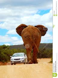 african elephant road traffic royalty free stock images image