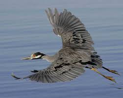 Heron Meaning by Yellow Crowned Night Heron Audubon Field Guide