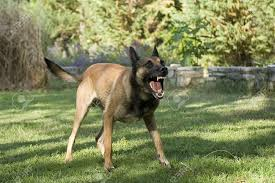 belgian sheepdog standard picture of an aggressive purebred belgian sheepdog malinois stock