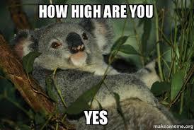 High Koala Meme - how high are you yes laid back koala make a meme