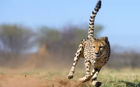 Desktop Hd Free Pictures Animals Cheetah Animal Desktop Hd Photos Http Www Atozpictures