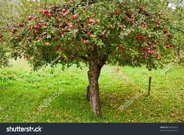 apple trees orchard apples ready stock photo 63244594