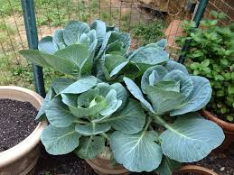 Bag Gardening Vegetables by You Can Grow Collards In A Pot Winter Growing Tips Pinterest
