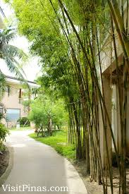 path with ornamental bamboos at misibis bay visitpinas