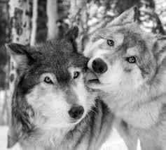 black wolf aesthetic