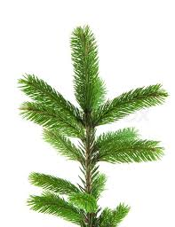 Pine fur tree branch isolated on white for Christmas decoration