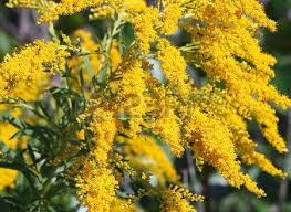 Tree With Bright Yellow Flowers - bright yellow flowers of the goldenrod considered a weed yet