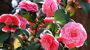 camellia flowers camellia flower alabama state flower the camellia
