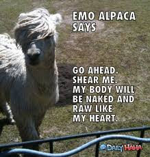 Alpaca Meme - 34 best alpaca humor images on pinterest ha ha funny animal and
