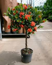 Braided Hibiscus Tree Pictures by Slideshow For Patio And Deck Collection