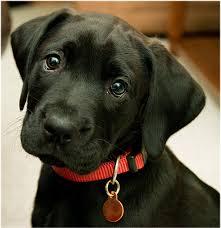 bbeautiful labrador retriever black labs puppy dogs doggies