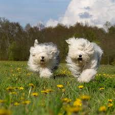 belgian sheepdog poodle mix old english sheepdog dog breed information pictures