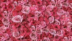 100 Roses 100 Long Stem Pink Roses 100 Roses Delivered