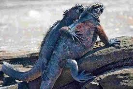 Iguana Island Galapagos Islands Tours U0026 Travel Intrepid Travel Au