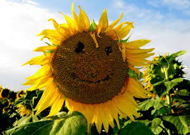Grinter Sunflower Farm Lawrence Kansas