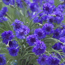 bachelor buttons bachelor s button centaurea michigan flower farm locally