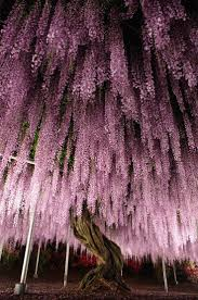 38 best wisteria images on pinterest wisteria flowers