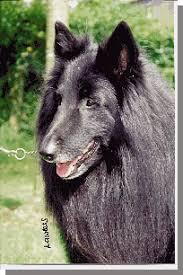 belgian sheepdog gif belgian shepherd dog association of great britain td2001