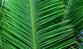 palm leaves for palm sunday 29 03 2015 sermon palm sunday 11 1 11 newhaven church