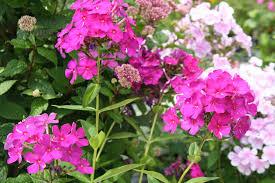 phlox flower fafardpruning summer flowers