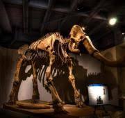 woolly mammoth mammuthus primigenius animals animals
