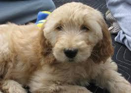 goldendoodle puppy virginia labradoodle goldendoodle puppies for sale va md dc doodle