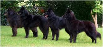 belgian sheepdog canada black gold belgian sheepdogs groenendael breeder of quality