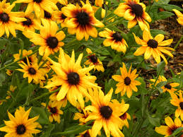 Gold Flowers Crabtree Gardens Rudbeckia Hirta Gold Flowers Her Way At