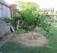 lemon meyer tree citrus limon