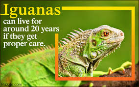 facts about iguanas too captivating to ignore