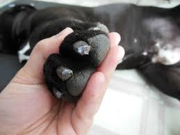 black claws underside of dogs nails
