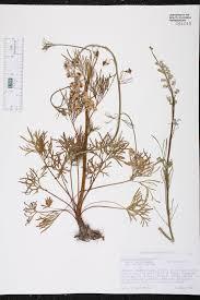 native plants of arkansas delphinium carolinianum species page isb atlas of florida plants