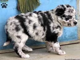 australian shepherd dalmatian puppy