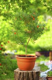 native plants in china tips for pomegranate growing caring for pomegranate plants in
