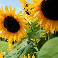 black oil sunflower u2013 mary u0027s heirloom seeds