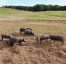raising heritage breed pigs at cape cod organic farm edible cape cod