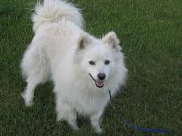 american eskimo dog toy for sale american eskimo puppies puppy dog gallery