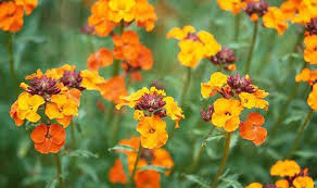 wall flowers blaze of colourful wallflowers will brighten up your garden