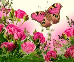 butterflies roses pink color flowers