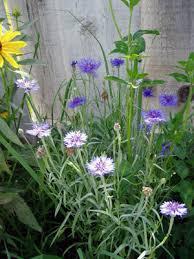 Bachelor Buttons Plants For A Prairie Garden Bachelor Buttons Cornflower