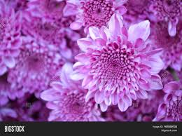 mums flower these pink flowers called image u0026 photo bigstock