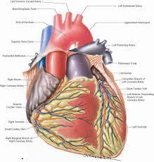 Heart Anatomy Arteries Heart