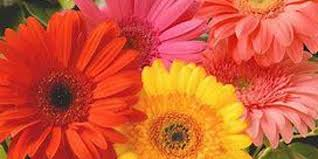 gerbera plant flowers plant and sip with gerbera daisies tickets thu