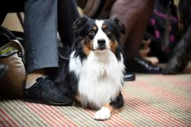 australian shepherd in spanish the national dog show is this weekend in oaks and they u0027ve added
