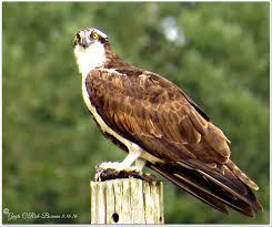 fishhawk to become oregon u0027s state bird