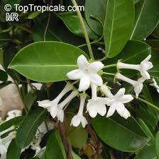 stephanotis flower stephanotis floribunda bridal bouquet madagascar wax